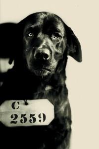 Pep the black Lab - Inmate No. C 2559