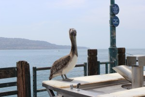 Pelican Mutilated in Long Beach. Photo, SCV Bail Bonds